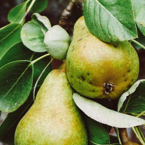 Pears growing in a pear tree