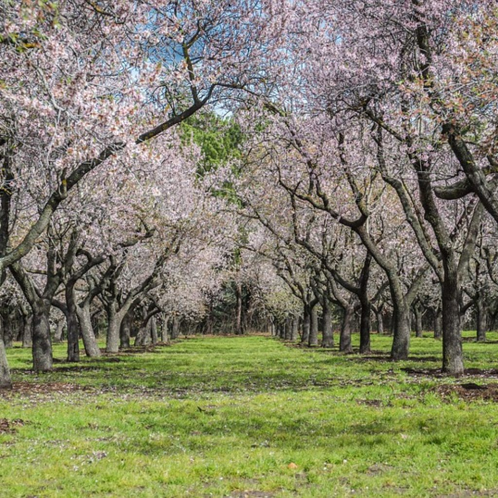 Row of Almond Trees in the Delta