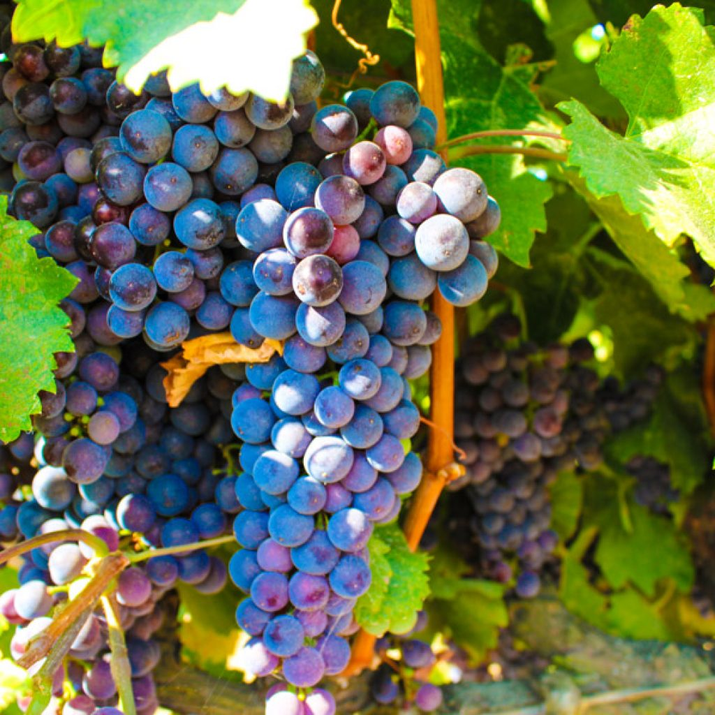 Grapes on a grapevine in the Delta