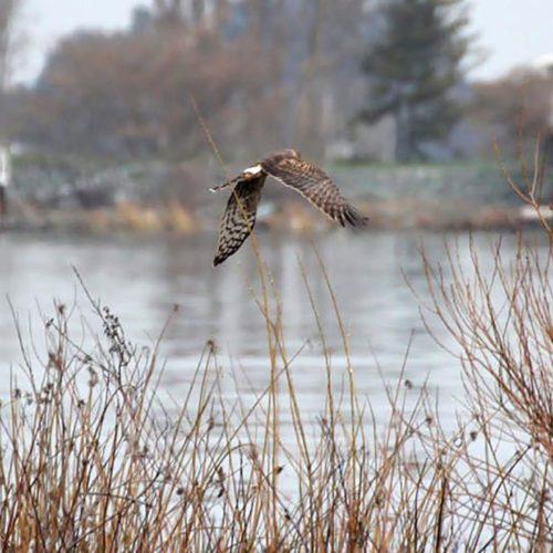 Bird taking flight in the Delta