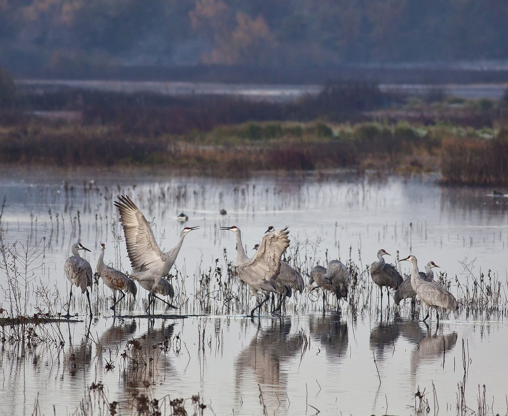 Sandhill Cranes in the Delta