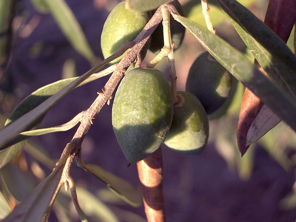 Olive Tree Fruit