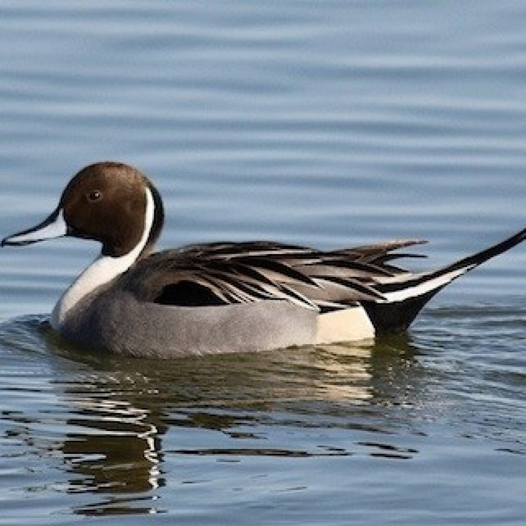 Pintail Duck in Delta waters