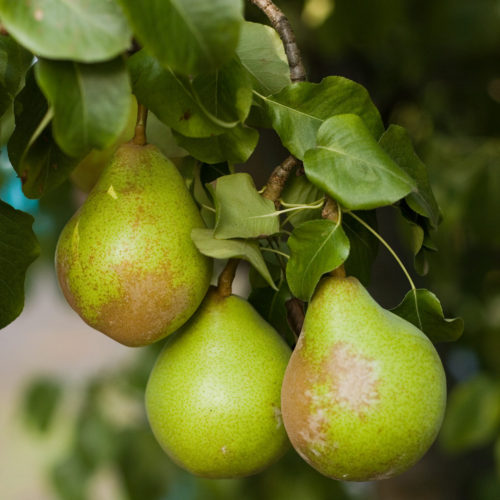 Delta Bartlett Pears growing on a pear tree