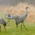 Delta Sandhill Cranes scouting for food
