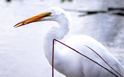 A Great Egret eating a fish in the California Delta