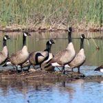 A flock of Canadian Geese in the water in the California Delta