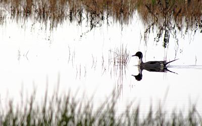 Ducks in the Delta