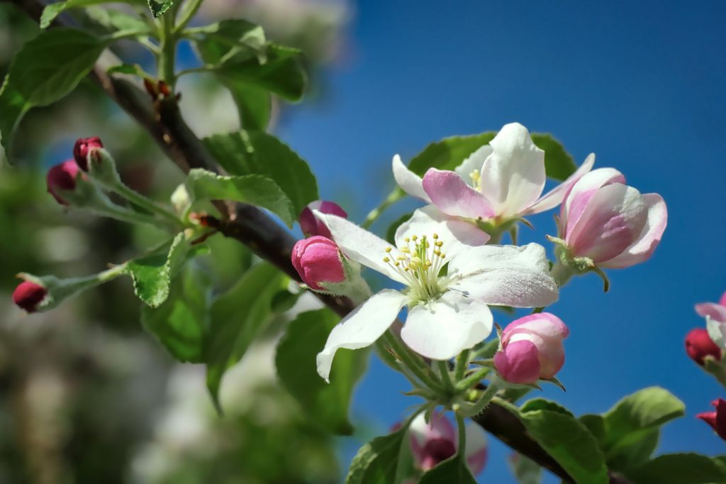 Delta apple blossoms