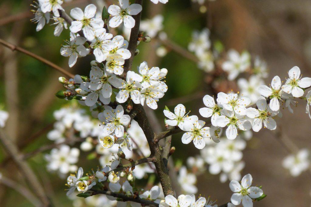 delta cherry blossom