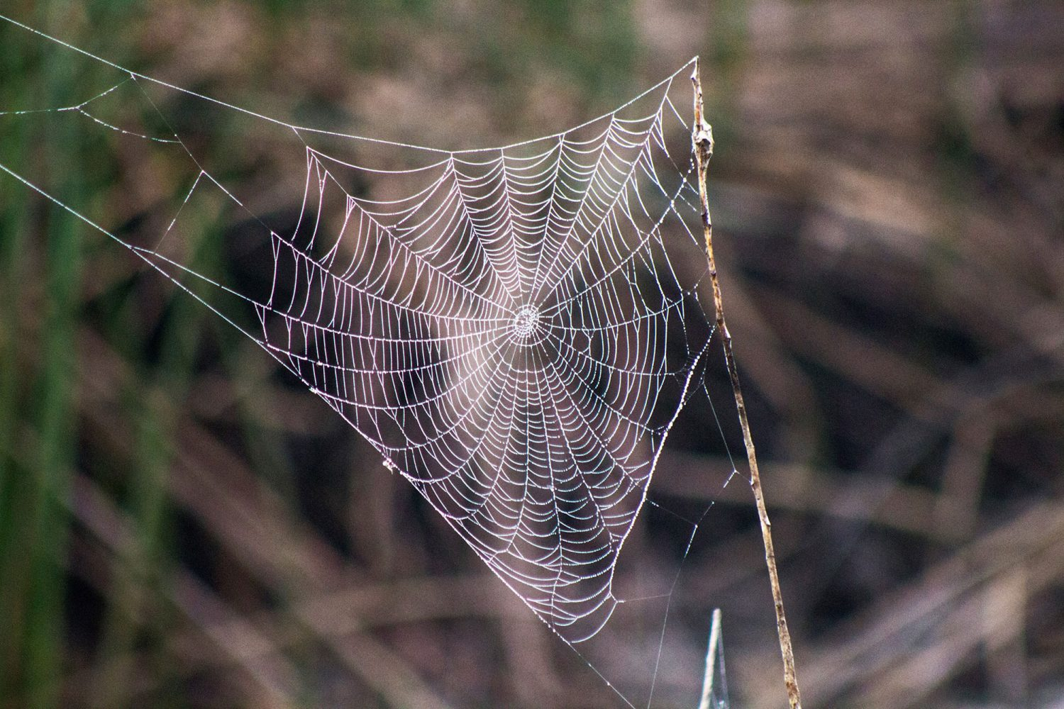 Spider web in the Cosumnes River Preserve