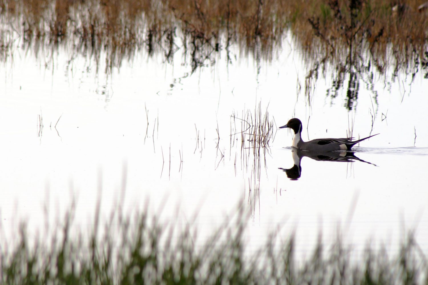 Ducks in the Cosumnes River Preserve