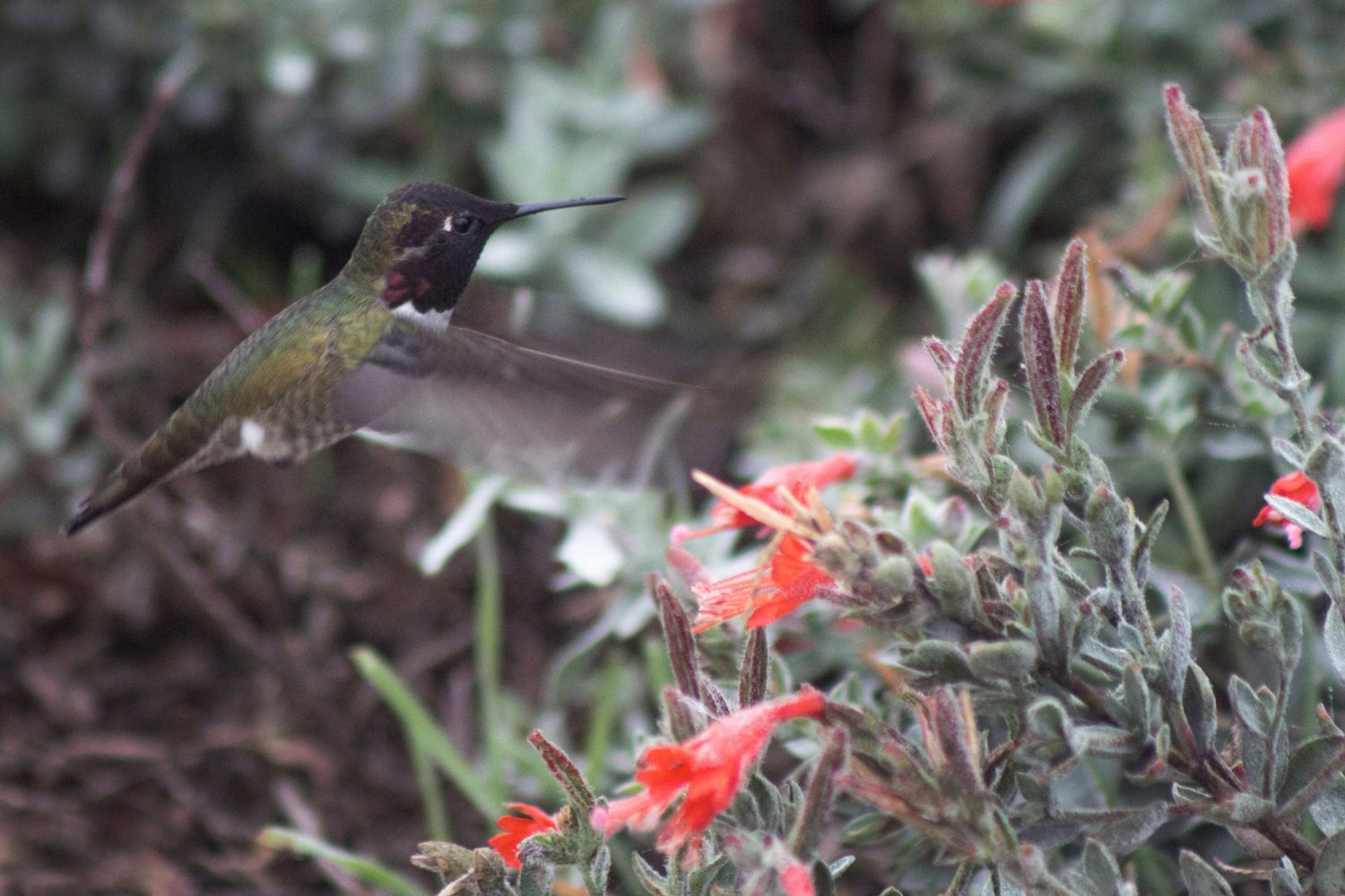 Humming bird in Cosumnes River Preserve