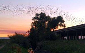 Delta Yolo bats flying across the sunset sky