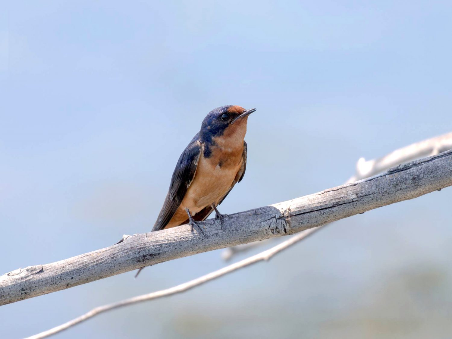 Delta barn swallow perching
