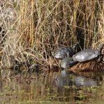 Big Break Regional Shoreline turtles in natural habitat