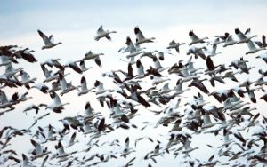 Flock of Lesser snow geese flying through Yolo Bypass Widlife Area