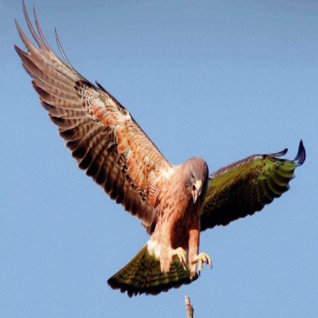 hawk in air
